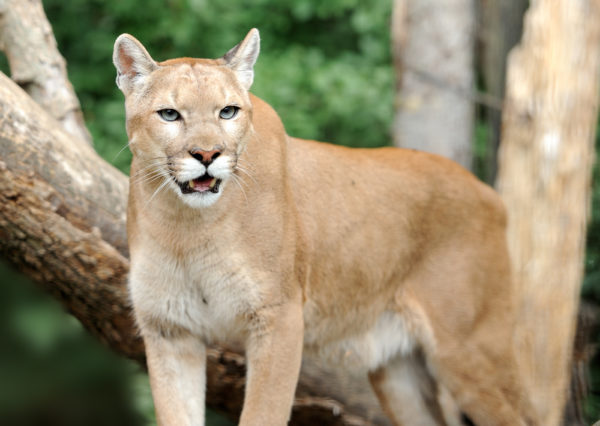 Mountain Lion standing in the wild